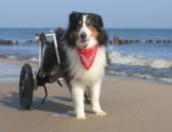 Colli Chicco macht spass am Strand in seinem Hunderollstuhl.